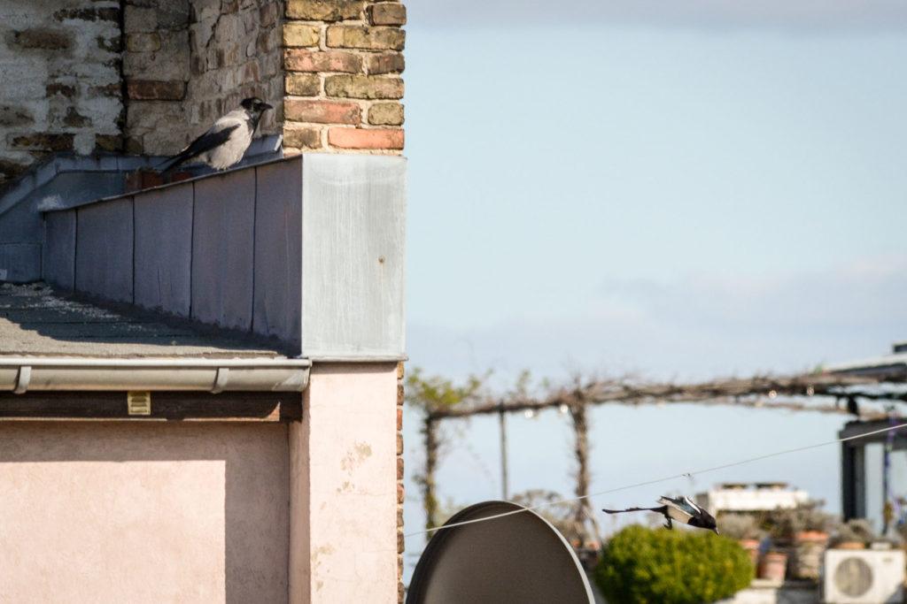 Nebelkrähe und Elster © Marcel Gluschak