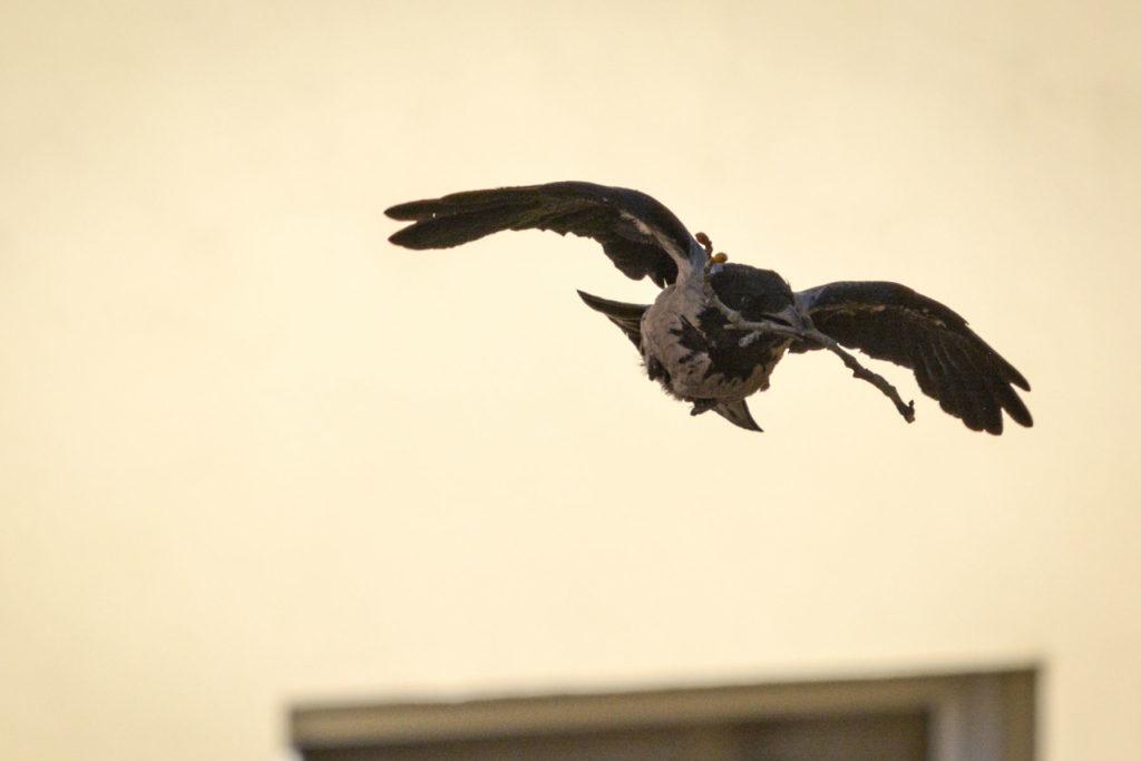 Fliegende Nebelkrähe © Marcel Gluschak