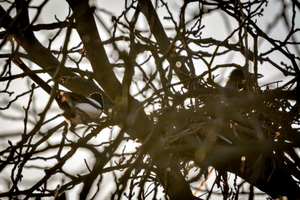 Elster lauert vor Nebelkrähe © Marcel Gluschak