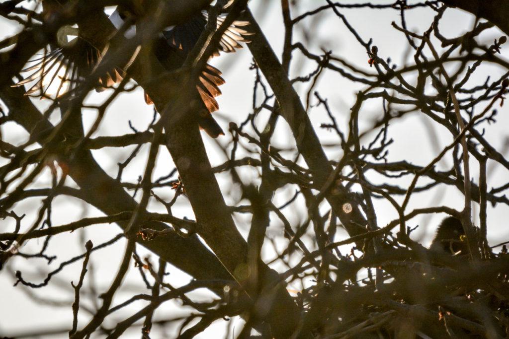 Elster attackiert Nebelkrähe © Marcel Gluschak
