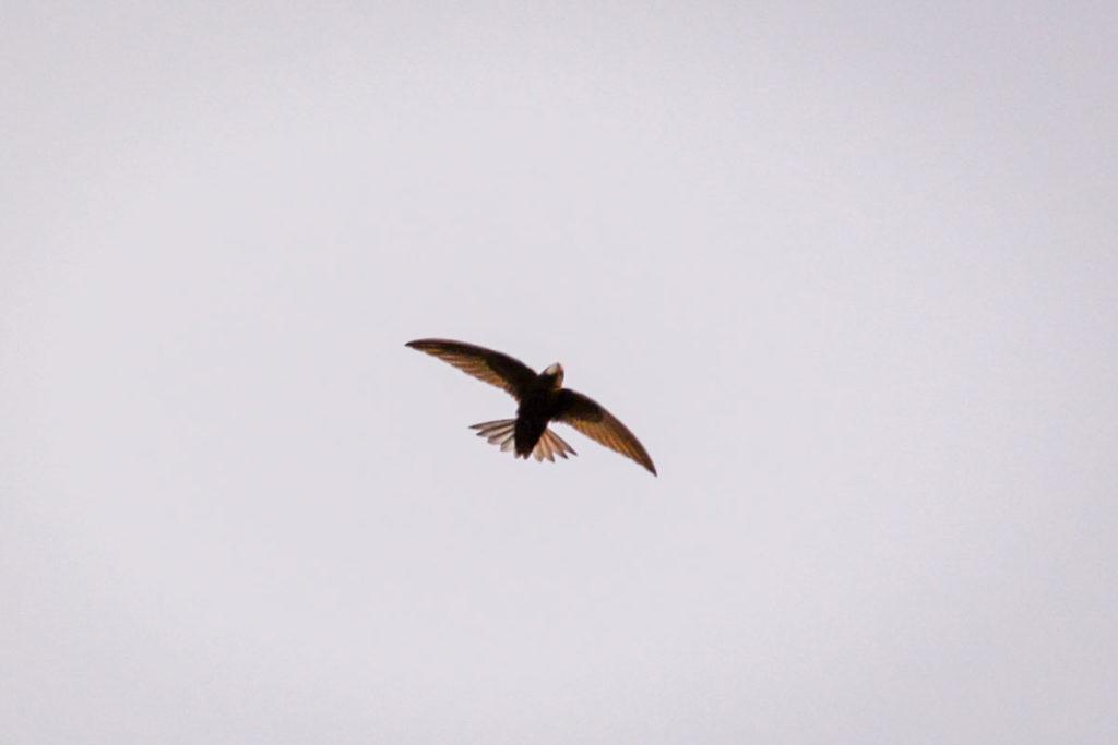 Beim langsamen Segeln fächern Mauersegler ihren gegabelten Schwanz auf © Marcel Gluschak