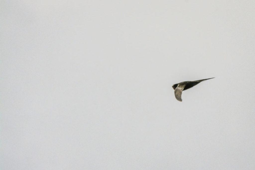 Mauersegler wechseln gerne zwischen Segelflug und wilden Kapriolen © Marcel Gluschak