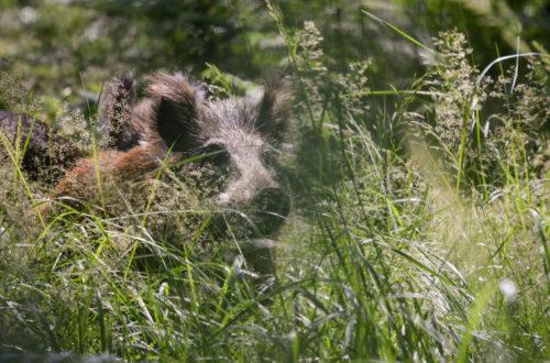Ein Wildschein im Gras © Marcel Gluschak
