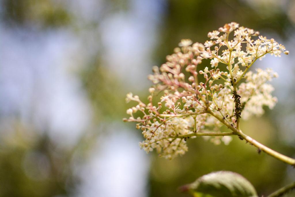 Holunderblüten von Blattläusen befallen.