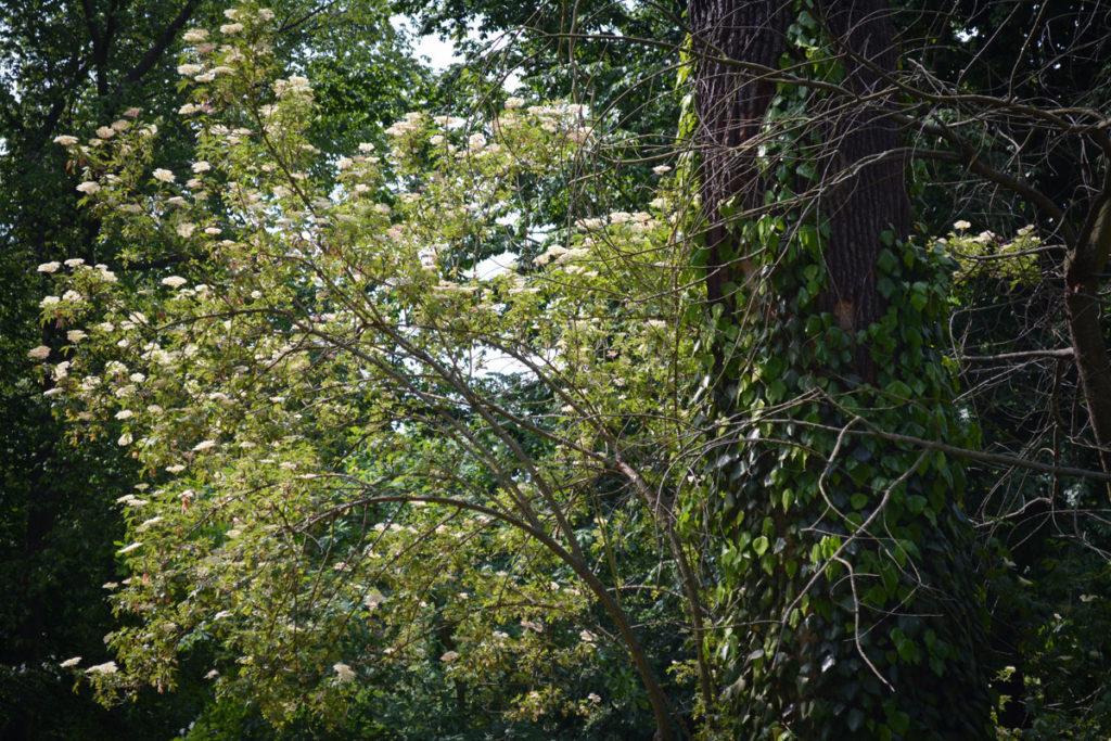 Holunderbaum neben Eiche © Marcel Gluschak