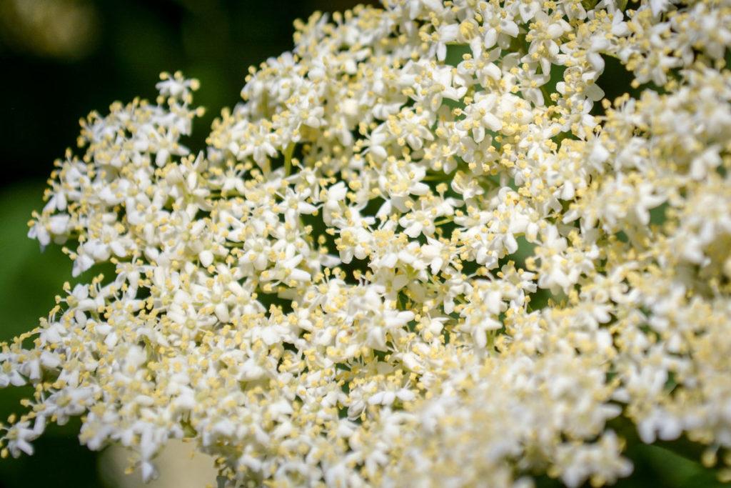 Holunderblüten mit Pollen in der Nahaufnahme © Marcel Gluschak