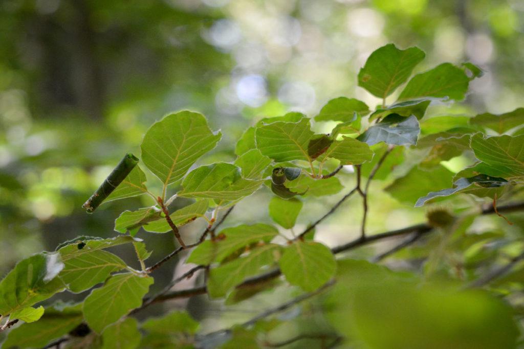 Eingerollte Blätter - hier sind Raupen am Werk © Marcel Gluschak