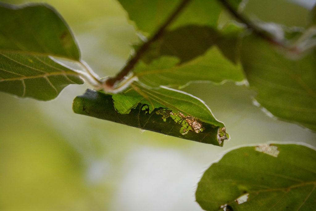 Eingerolltes Blatt, von Raupen weitgehend zerfressen © Marcel Gluschak