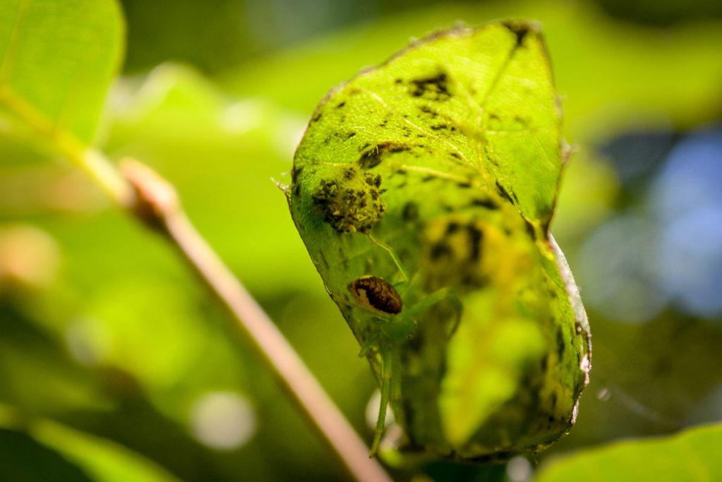 Grüne Krabbenspinne mit Eikokon © Marcel Gluschak