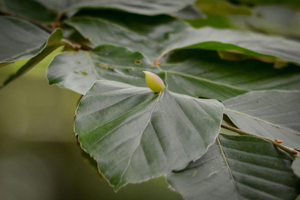 Pflanzengalle der Buchenblatt-Gallmücke © Marcel Gluschak