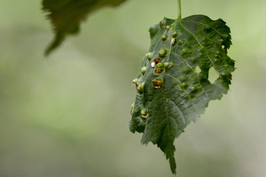 Pflanzengallen der Lindenblattkegel-Gallmücke © Marcel Gluschak