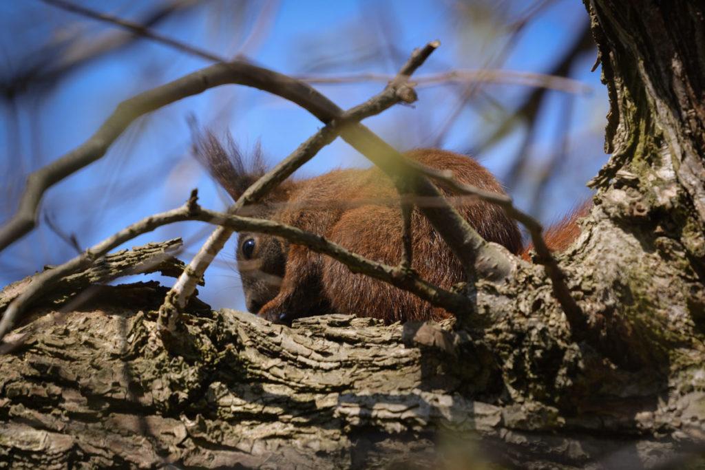Eichhörnchen auf einer Astgabel © Marcel Gluschak