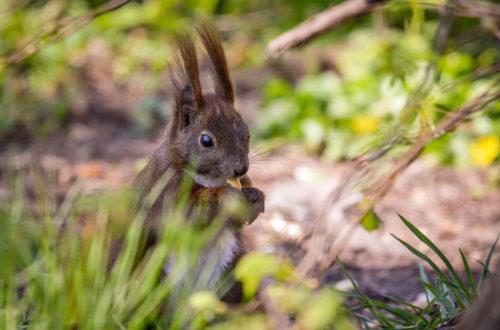 Knabberndes Eichhörnchen © Marcel Gluschak
