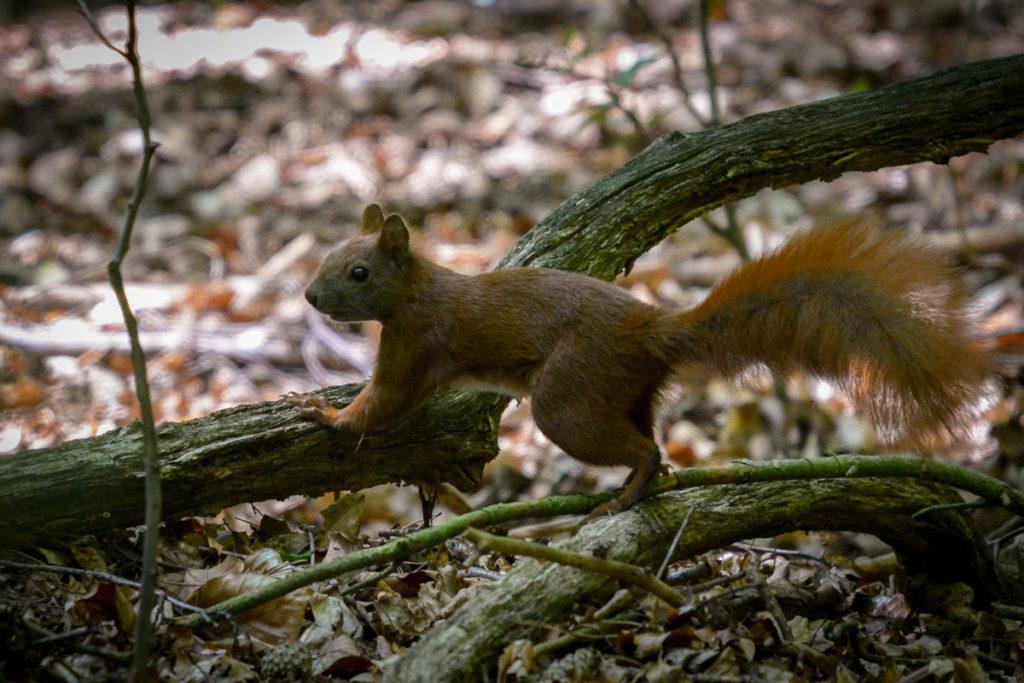 Eichhörnchen © Marcel Gluschak