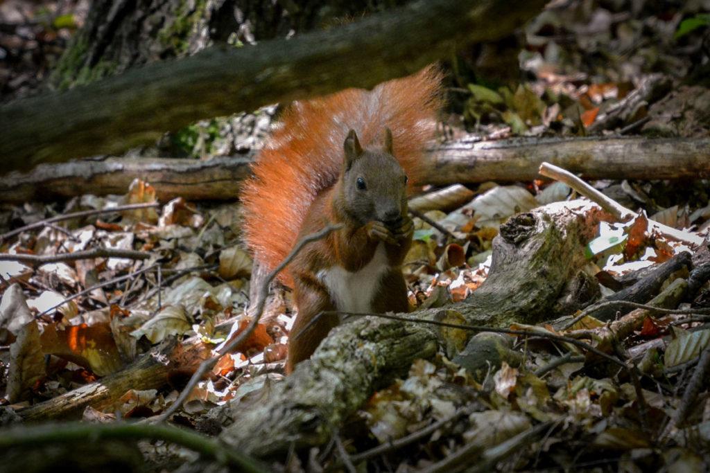 Eichhörnchen beim Knabbern einer Nuss © Marcel Gluschak