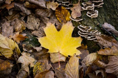 Spitzahorn-Blatt im Herbst © Marcel Gluschak