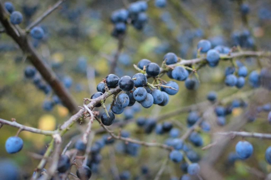 Schlehe mit dicht wachsenden Früchten © Marcel Gluschak