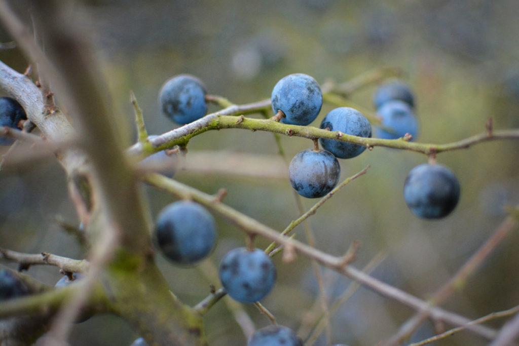 Die reifen Früchte der Schlehe sind dunkelblau. © Marcel Gluschak