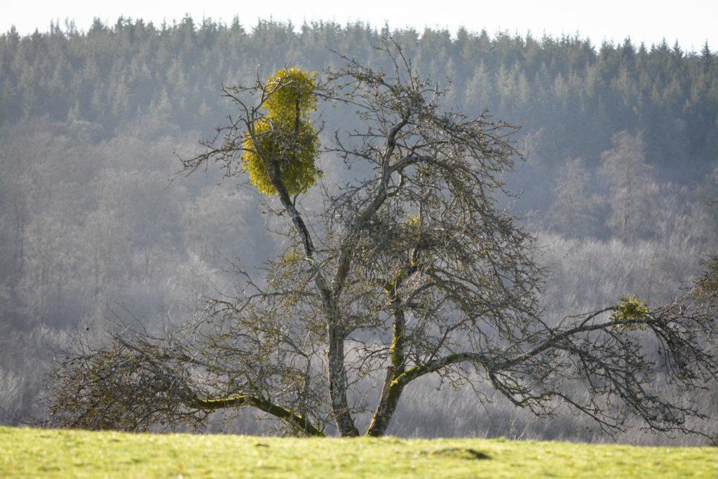 Mistel auf einem Obstbaum © Marcel Gluschak