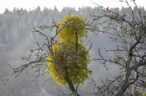 zwei Misteln auf einem Obstbaum © Marcel Gluschak
