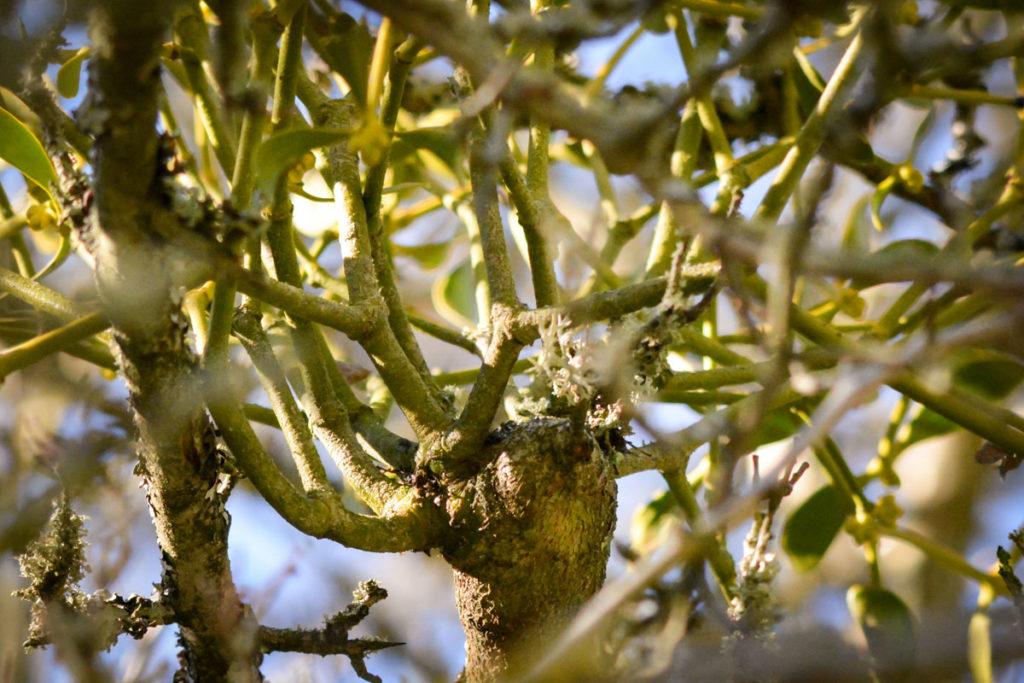 Mistelbefall auf einem Obstbaum mit charakteristischer Wucherung © Marcel Gluschak