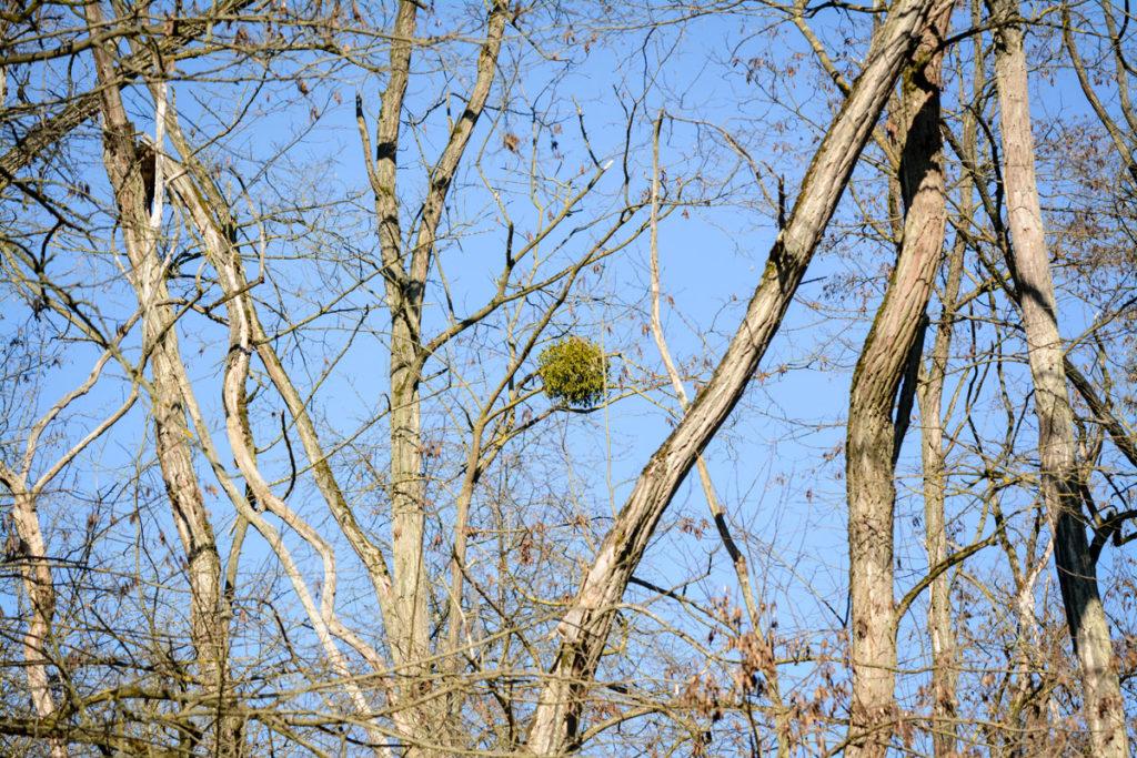 Kugelige Mistel auf einem kahlen Baum © Marcel Gluschak