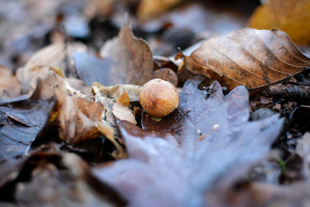 Gallapfel der Eichengallwespe © Marcel Gluschak