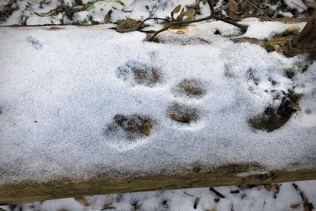 Eichhörnchenspur auf verschneitem Baumstamm © Marcel Gluschak