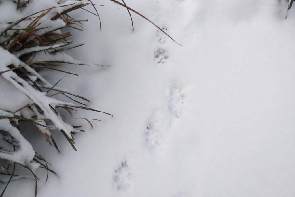 Hundesspur im Schnee © NaturREIN / Carolin-Schupp