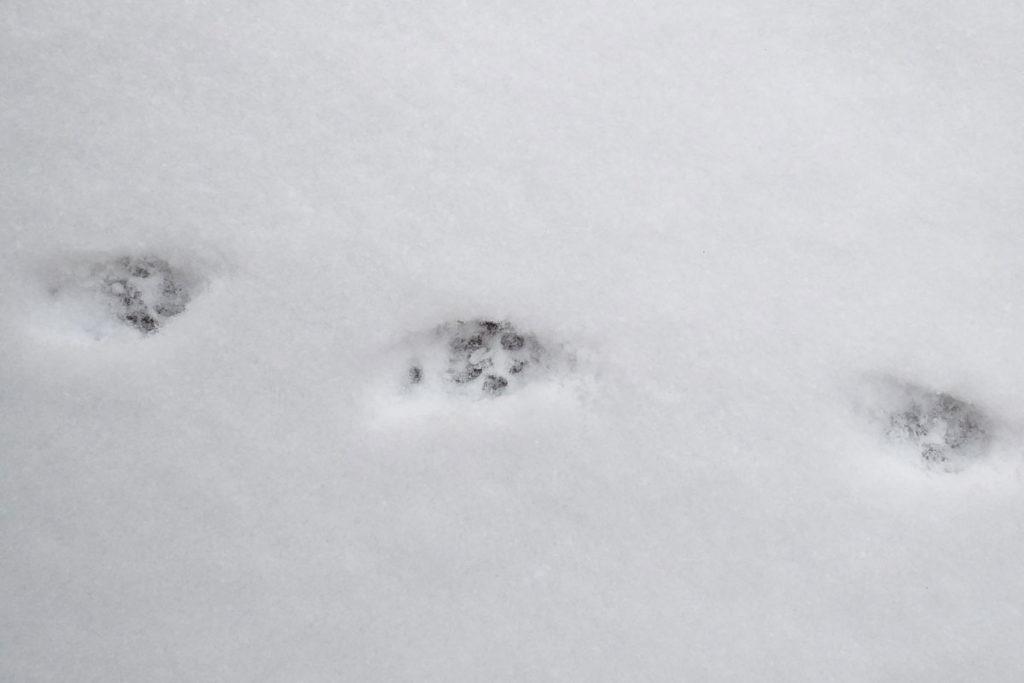 Katzenspur im Schnee © NaturREIN / Carolin-Schupp