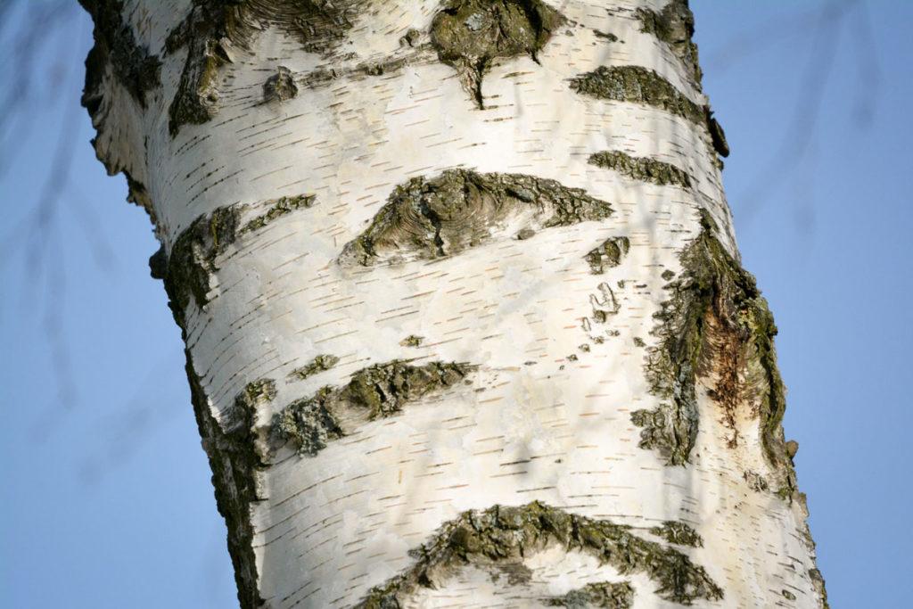 Weiße Birkenrinde © Marcel Gluschak
