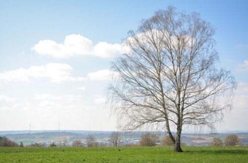 Birke in offener Landschaft © Marcel Gluschak