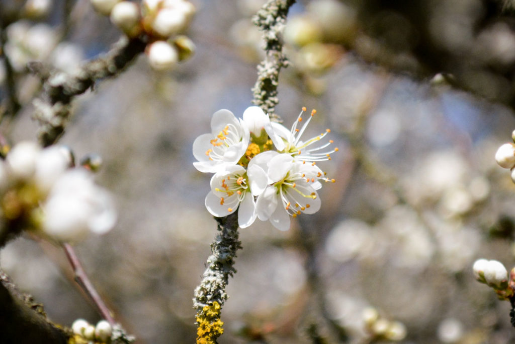 Schwarzdornblüten © Marcel Gluschak