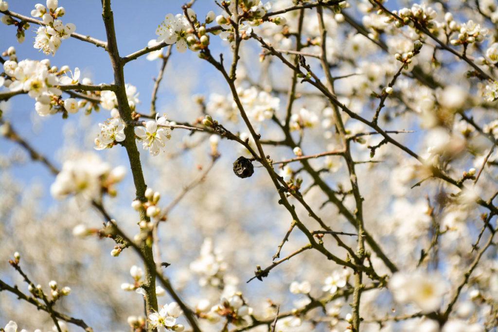 Schwarzdornblüte und verdorrte Schlehe © Marcel Gluschak