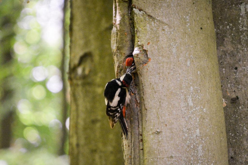 Buntspecht füttert Nachwuchs © Marcel Gluschak